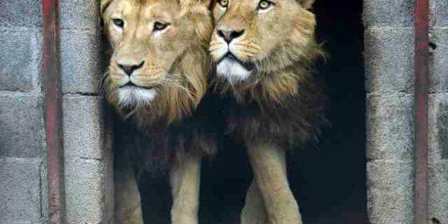 Tre leoni in gabbia in Serbia. Saranno liberati: destinazione Africa