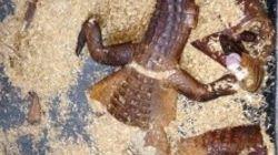 Che ci fanno resti di coccodrillo vicino a un cassonetto?