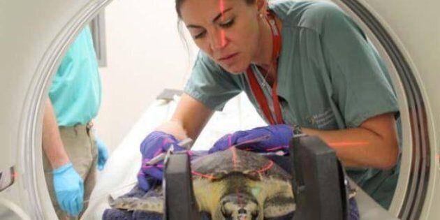 #Seaturtletrek, il lungo viaggio in Suv di 50 tartarughe: la corsa per salvarle diventa un evento social...