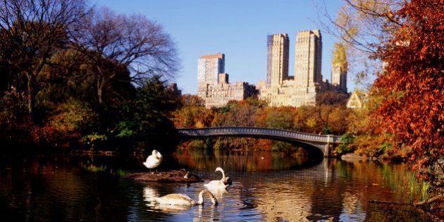 New York da la caccia al cigno muto perché deturpa l'ambiente. Gli animalisti insorgono