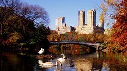 New York dà la caccia ai cigni