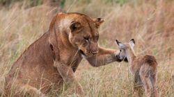 Leonessa sbrana antilope. Poi adotta il cucciolo della sua preda