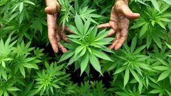 Referendum per depenalizzare la cannabis.