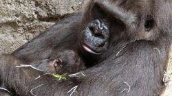 Di nuovo minacciati i gorilla, dov'è