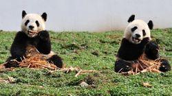 Il panda gigante torna a casa (FOTO,