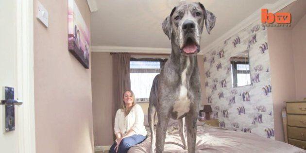 Cane più grande d'Inghilterra: dite buongiorno a Freddy, il cucciolo pronto a sfidare Zeus (FOTO,