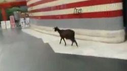 Dopo il cinghiale sull'autobus, la capra in metro... (FOTO,