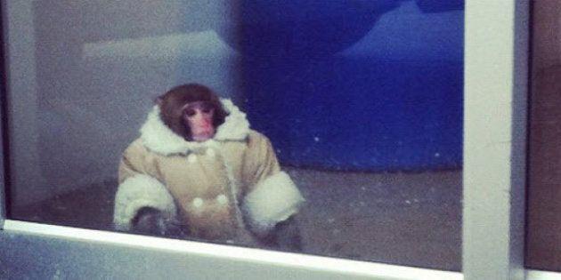 Canada, scimmia persa all'Ikea: vestito con un cappottino, l'animale era scappato da un'auto parcheggiata...