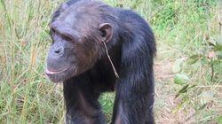Gli scimpanzé che usano fili d'erba come orecchini