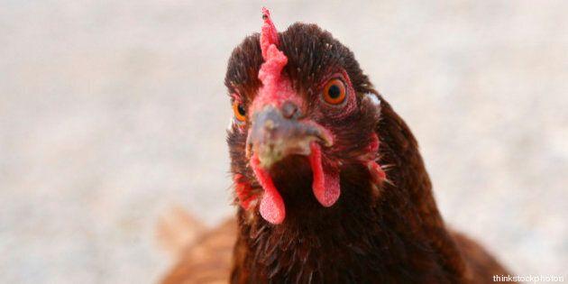 Marijuana per galline: coltiva l'erba nell'orto, la madre ignara la dà alle galline. Arrestato giovane...