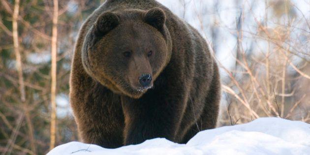 Cercavano lo yeti e scoprono una nuova specie di orso. Presto una spedizione