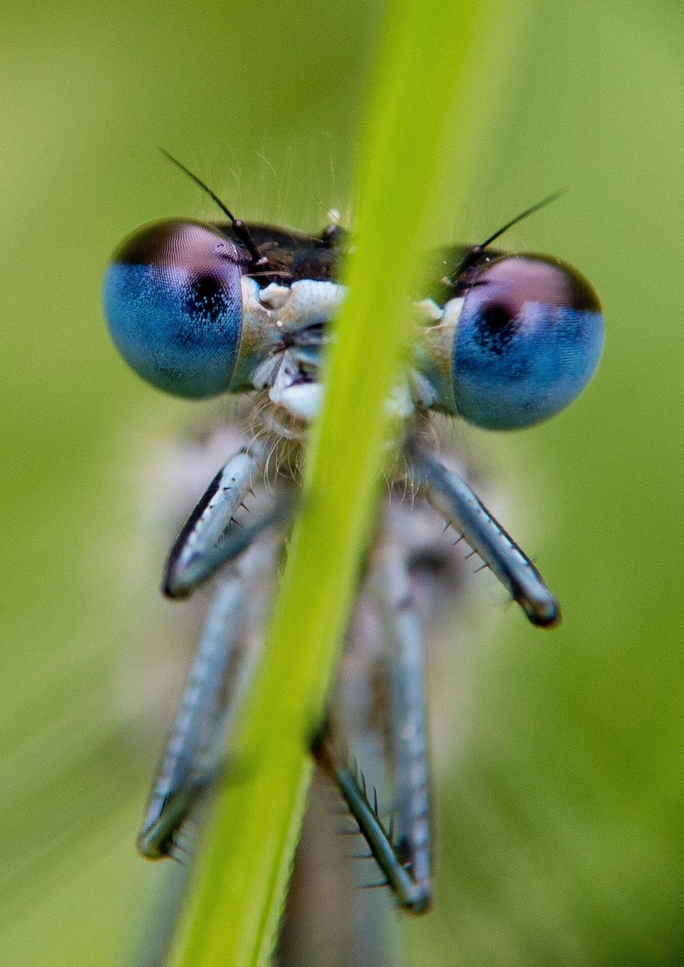 A blue damselfly (<i>Platycnemis pennipes</i>) rests on a reed at the edge of a small lake near Briesen, Germany, on May 13,