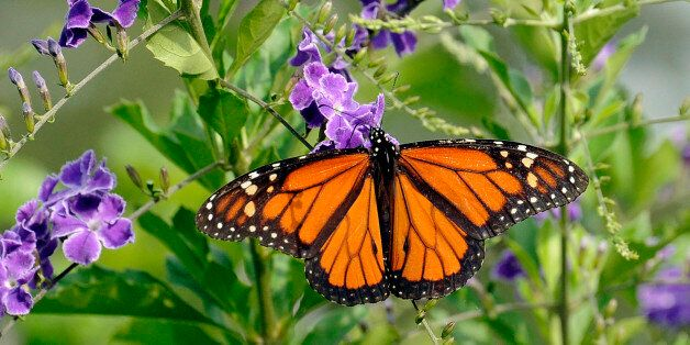 A monarch butterfly feeds on a Duranta bush Monday, May 11, 2015, in Houston. A mild winter combined with a rainy spring have