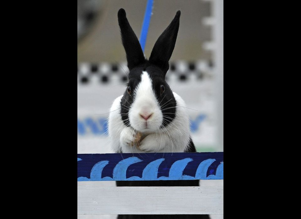WOLLERAU, SWITZERLAND - OCTOBER 30:  A rabbit jumps over a hurdle at an obstacle course during a training session prior to th
