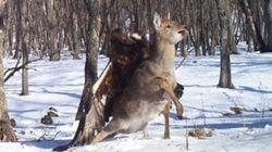 Un'aquila attacca un cervo in Russia. Le immagini inedite di una fotocamera nascosta