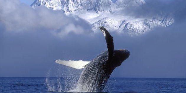 Caccia alle balene. L'agonia dei cetacei svelata in uno studio top secret dell'Islanda. Animalisti in...