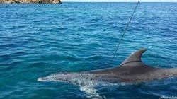 Delfino trafitto da una fiocina, trovato morto nel mare della Maddalena