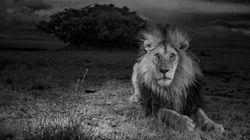 La vita dei leoni e degli elefanti africani grazie a foto-trappole