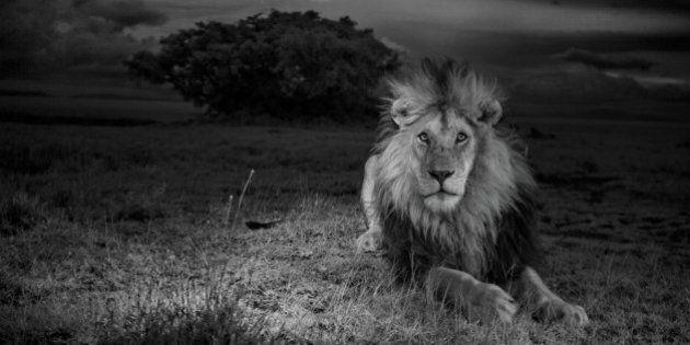 La vita dei leoni e degli elefanti africani ottenuti grazie a foto-trappole. La mostra di Michael Nichols...