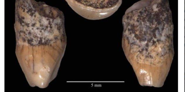 Il reperto umano più antico d'Italia: ritrovato il dente di un bimbo di 6 anni vissuto 600 mila anni...