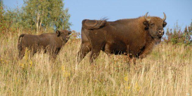 Bisonte europeo: dal Parco Natura Viva di Bussolengo alla foresta di Poloniny. La storia di Ulisse ed...
