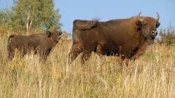A tu per tu con il bisonte europeo