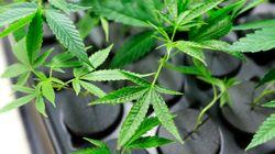 Coltivare due piante di marijuana sul terrazzo? Non è reato