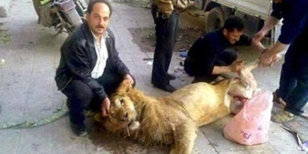 Siria, leone dello zoo di Damasco macellato per fame. I ribelli diffondono foto sui social