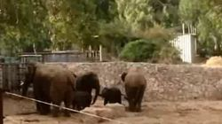 Gli elefanti proteggono i cuccioli dalle sirene d'allarme per i missili di Hamas (FOTO,