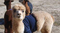 Anche l'alpaca ha il suo maglione!