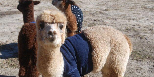 Alpaca con maglione: il miglior modo per proteggerli dal freddo