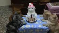 La padrona organizza una festa di compleanno ma la gatta rimane indifferente