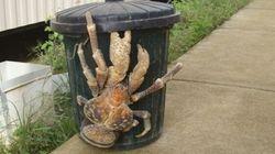 Un pericoloso granchio gigante sulle strade delle Hawaii