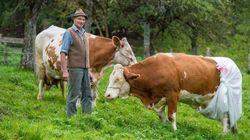 Mutande alle mucche per protestare contro Bruxelles