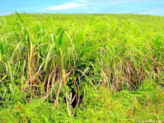 Lo zucchero non è vegano. Il carbone, ottenuto dalle ossa degli animali, viene utilizzato per raffinare...