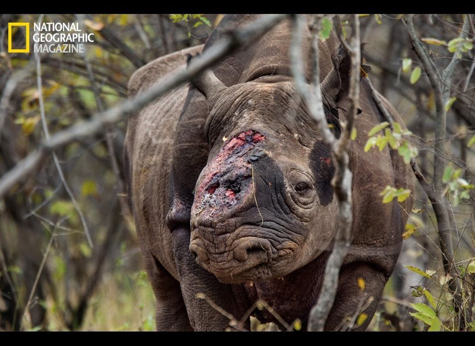 Game scouts found this black rhino bull wandering Zimbabwe's Savé Valley Conservancy after poachers shot it several times and