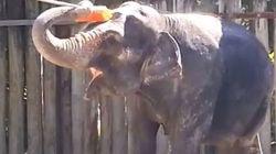 L'elefante che si lava da solo con la spazzola (FOTO