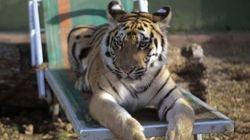 Angela, la tigre del boss, vola in Germania
