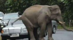 Basta auto! L'elefante irritato le schiaccia...sedendosi