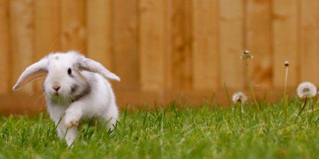 Corri, coniglio della Brambilla, corri a
