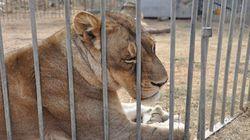 Sequestrati tutti gli animali di un circo, è la prima volta in Italia (FOTO,