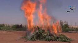 Isis brucia campi di Marijuana in Siria
