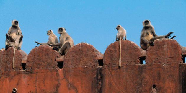 India: il governo assume 40 professionisti per tenere le scimmie lontane dal Parlamento