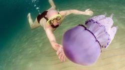 Meduse giganti invadano la Sardegna. Grandi fino a mezzo metro, sono state fotografate nel mare dell'Ogliastra, sulla costa o...