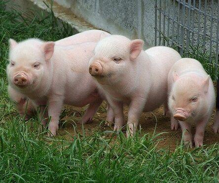 swine flu outbreak    nature biting back at industrial animal