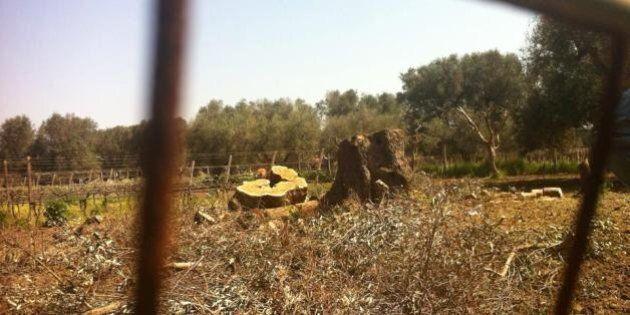 Ulivi secolari abbattuti a Oria per xylella. Rabbia degli ambientalisti:
