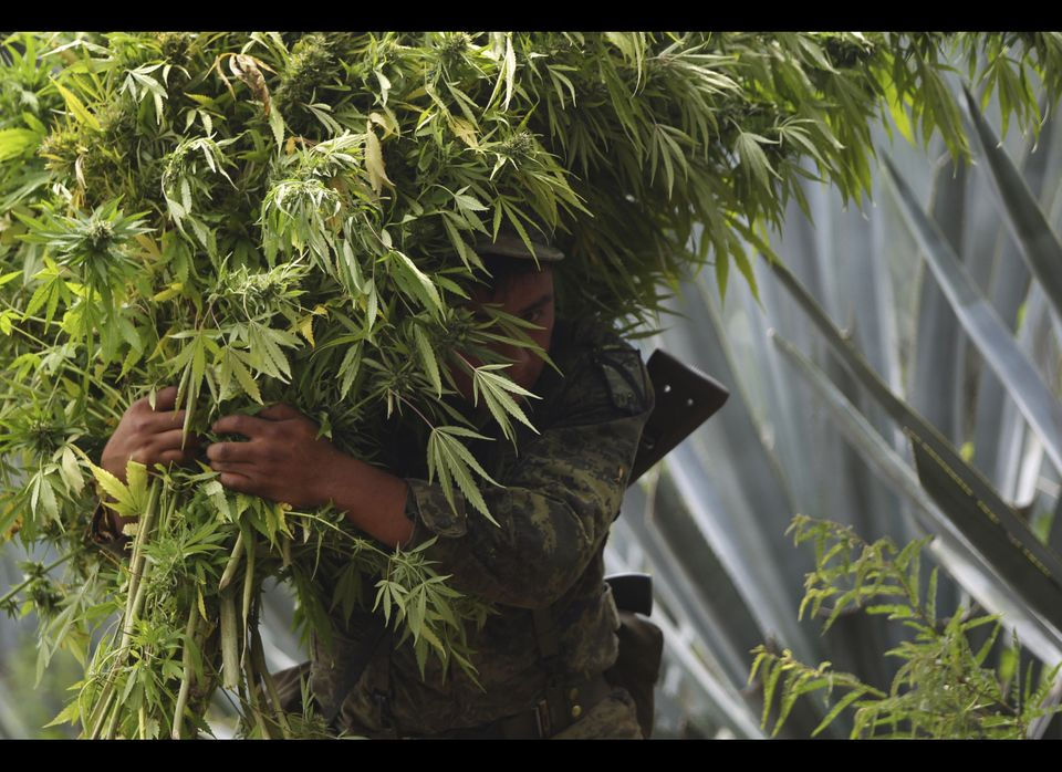 A soldier carries marijuana plants to be destroyed after a large pot plantation was seized in Hostotipaquillo, Mexico, Thursd
