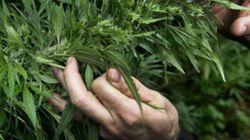 Cannabis terapeutica, a rischio la sperimentazione a Firenze per colpa della spending
