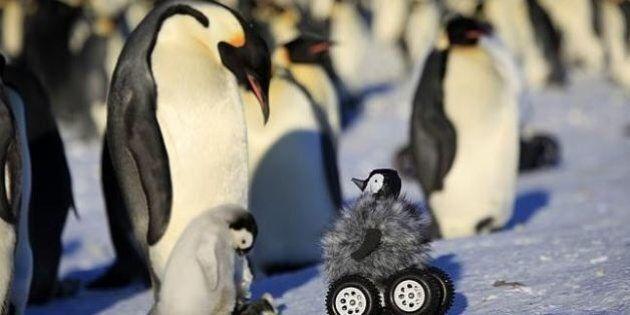 Il pinguino robot che studia i suoi simili. L'Università di Strasburgo ha costruito un cucciolo per osservare...