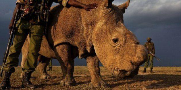 L'ultimo rinoceronte settentrionale bianco maschio è sotto custodia armata 24 ore al giorno in Kenya
